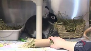 Montreal SPCA wants parents to think twice about buying pet rabbits at Easter